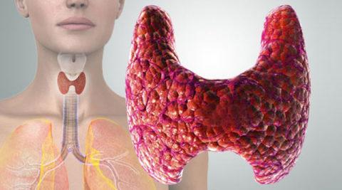 Щитовидная железа синтезирует очень важные для обмена веществ гормоны.
