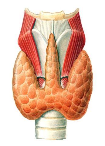 Какой должен быть объем щитовидной