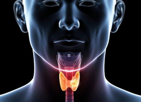 Небольшая по размерам, щитовидная железа оказывает большое влияние на работу всего организма