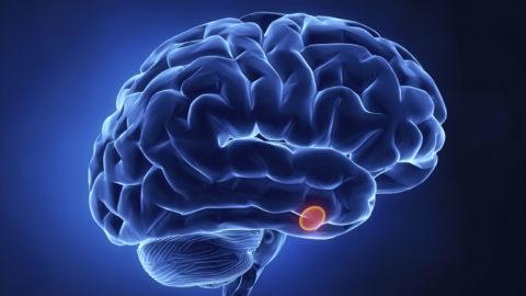 Производится ТТГ клетками гипофиза – небольшой железы (на фото отмечена красным), которая расположена в основании головного мозга
