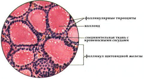 Щитовидная железа имеет дольчатое строение