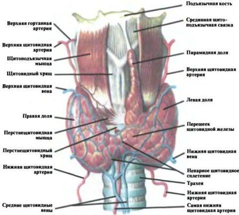 Строение щитовидной железы и окружающие ее анатомические элементы
