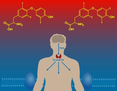 ТГГ (на фото – TSH) регулирует работу щитовидки по принципу обратной связи