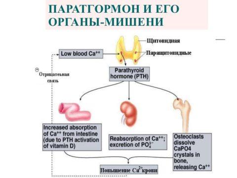 Кости, кишечник и почки – основные органы-мишени для паратгормона