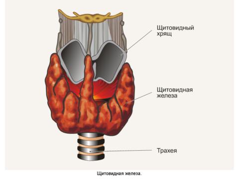 На фото - железа выделяющая гормон тироксин