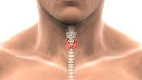 Щитовидная железа представлена двумя долями, которые соединяются друг с другом при помощи перешейка