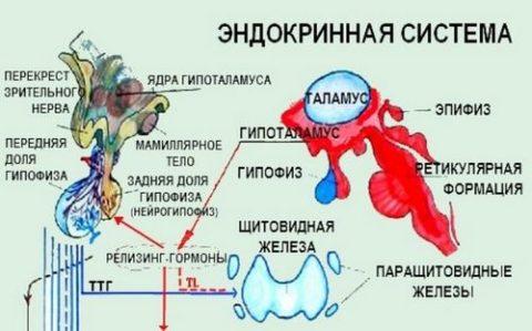 Схема работы эндокринной системы.