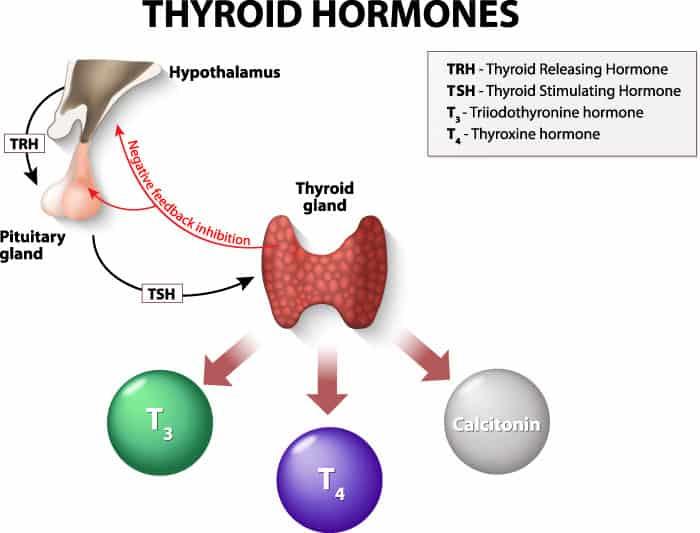 Синтез тиреоидных гормонов происходит под контролем гипофиза головного мозга