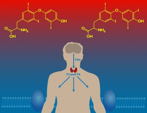 Молекула тироксина содержит 4 атома I, а трийодтиронина - 3