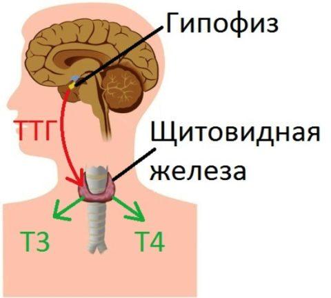 На фото схематично отображена совместная работа головного мозга и щитовидки
