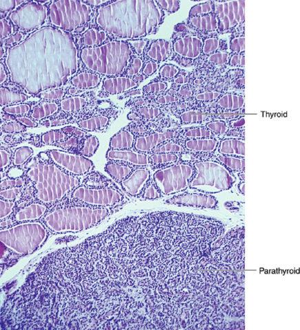 Паращитовидная железа – строение и функции досконально знают эндокринологи