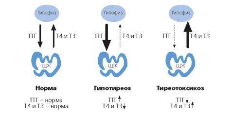 Принцип обратной связи между щитовидной железой и гипоталамусом