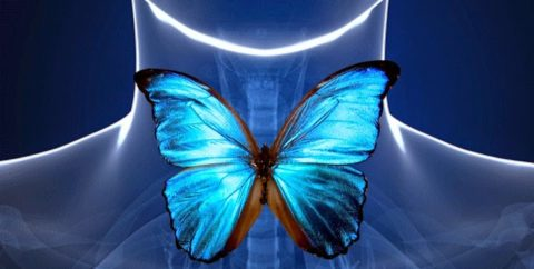 Щитовидная железа по контурам напоминает бабочку.
