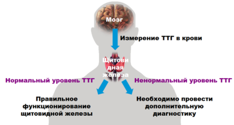 Схема оценки правильности работы щитовидной железы, опираясь на содержание ТТГ в крови