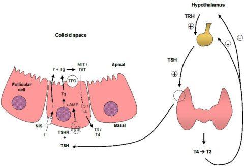 На фото представлена схема синтеза тиреоидных гормонов и участие в этом йода.