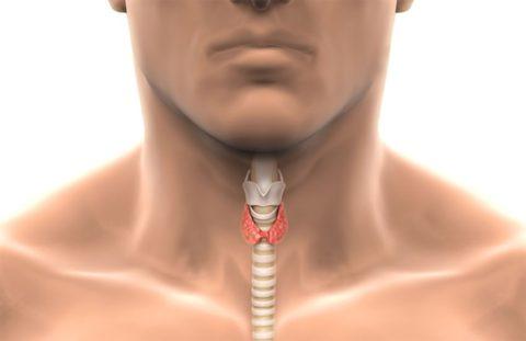 Наиболее важные функции гормонов щитовидной железы