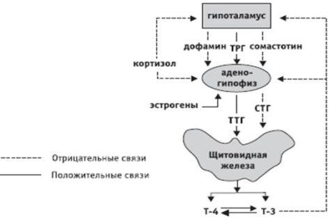Схема управления выделением гормонов щитовидной железы