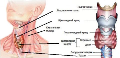 Строение главной железы эндокринной системы