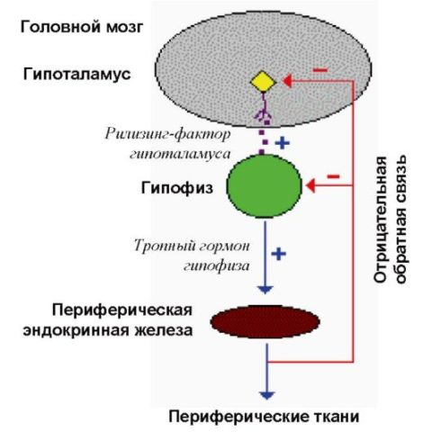 Взаимосвязь между гипоталамусом, гипофизом и щитовидной железой