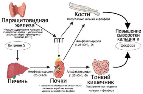 Паращитовидная железа, за какие функции человеческого организма она ответственна?