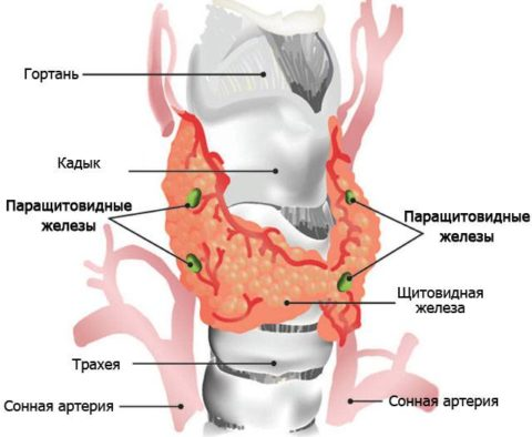 Паращитовидные железы расположены на щитовидке несимметрично