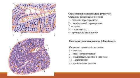 Схематическое изображение внутреннего строения паращитовидной железы