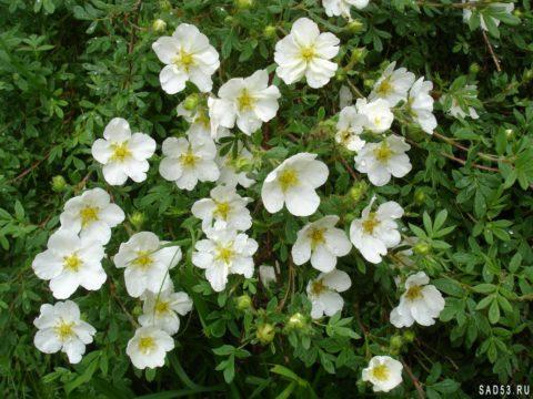 Белая лапчатка – незаменимые свойства растения.
