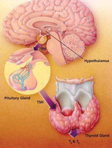 Главным регулятором работы щитовидки остается головной мозг (см. фото)