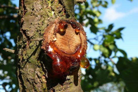 Кора усохшей вишни как средство профилактики проявления патологий щитовидки.