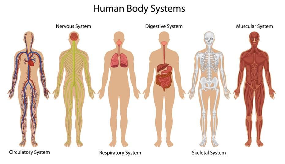 Гормон действует на все системы организма.