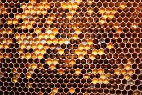 Перга или «пчелиный хлеб» в сотах
