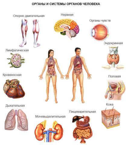 Щитовидка регулирует деятельность всего организма