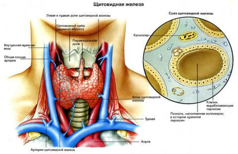 Щитовидная железа имеет большое значение для организма