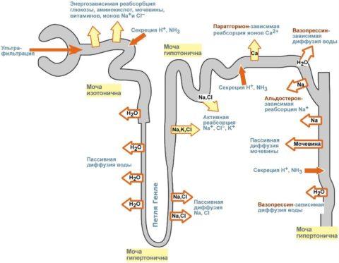 Схема работы почечных канальцев