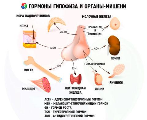 ТТГ – не единственный гормон гипофиза