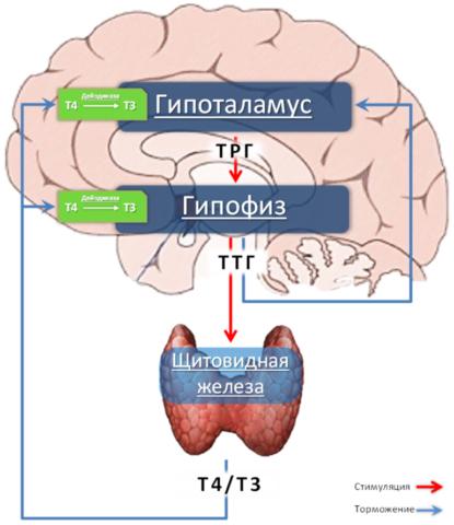 Выработка гормонов щитовидки регулируется ЦНС