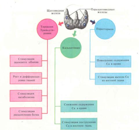 Гормоны ЩЖ играют одну из главных ролей в человеческом организме