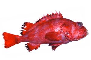 Окунь (морской)