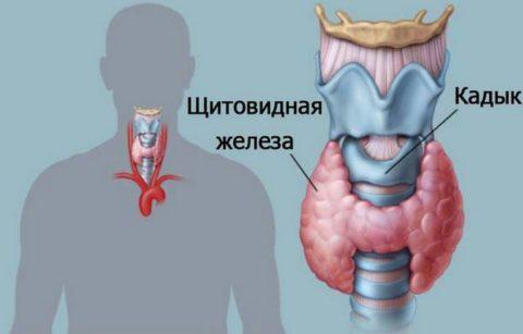 Щитовидка всецело зависит от продукции ТТГ