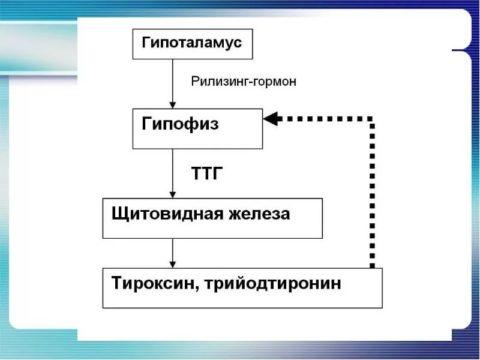 Тиреотропин обеспечивает связь гипофиза и щитовидки