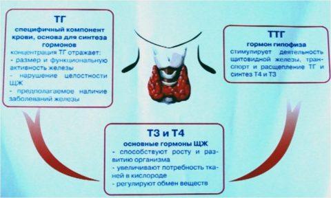 ТТГ является активным регулятором обмена веществ