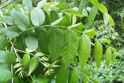 В состав данной лекарственной формы входят листья грецкого ореха