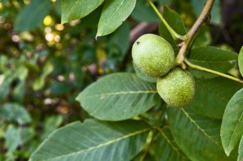 Зеленые плоды грецкого ореха являются настоящим кладезем биологически активных веществ