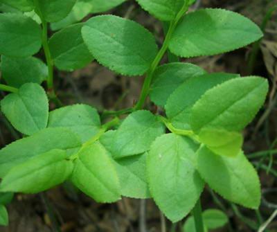 Черника (листья)