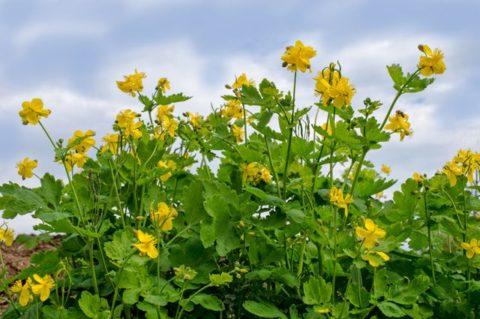 Чистотел — красивое и полезное растение