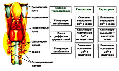 Гормоны щитовидки выполняют в организме множество функций
