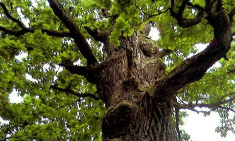 Кора дуба – эффективное средство для лечения множества заболеваний щитовидки.