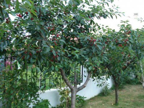 Кора вишневого дерева нормализует функционирование щитовидной железы.