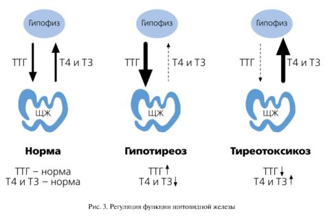При тиреотоксикозе наряду с уменьшением концентрации ТТГ наблюдается рост Т3 и Т4