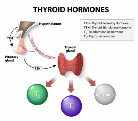 ТТГ является своеобразным посредником между головным мозгом и периферическим эндокринным органом